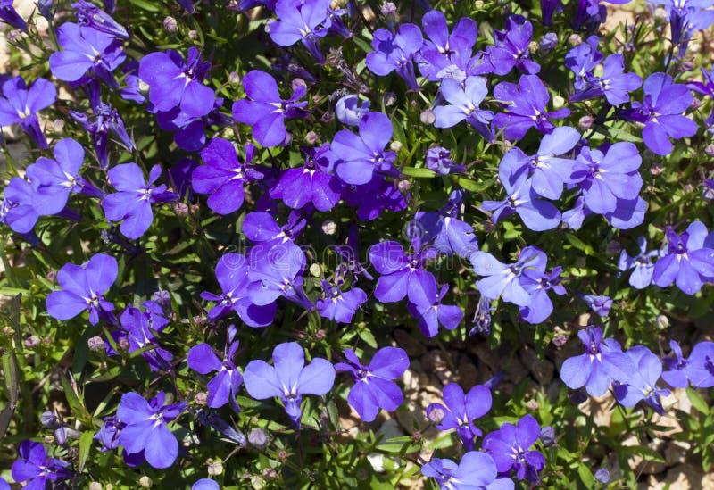 Lo zaffiro di trascinamento blu di Lobelia fiorisce o orlando il Lobelia, Lobelia del giardino a foto di St Gallen, Svizzera Il s fotografie stock libere da diritti