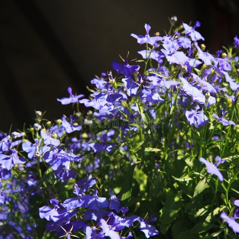 Lo zaffiro di trascinamento blu di Lobelia fiorisce o orlando il Lobelia, Lobelia del giardino a St Gallen, Svizzera Il suo nome  fotografia stock