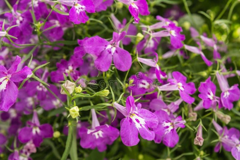 Lo zaffiro di trascinamento porpora di Lobelia fiorisce o orlando il Lobelia, Lobelia del giardino immagine stock libera da diritti