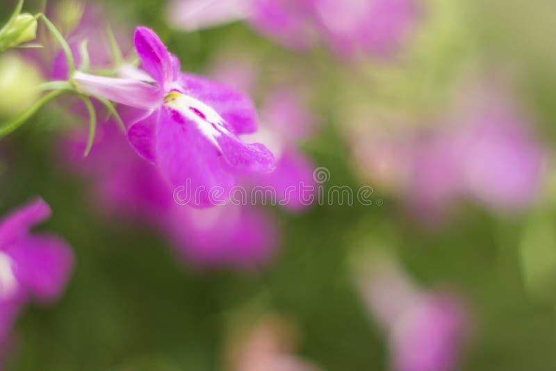 Lo zaffiro di trascinamento porpora di Lobelia fiorisce o orlando il Lobelia, Lobelia del giardino fotografia stock