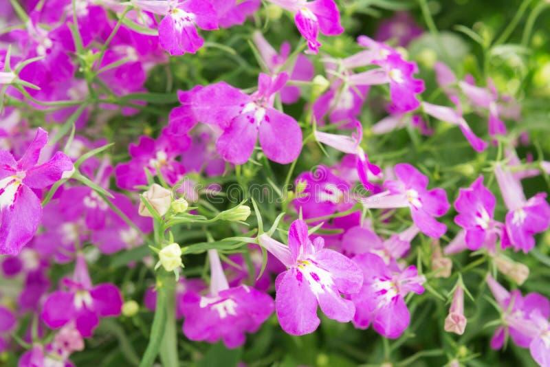 Lo zaffiro di trascinamento porpora di Lobelia fiorisce o orlando il Lobelia, Lobelia del giardino immagine stock