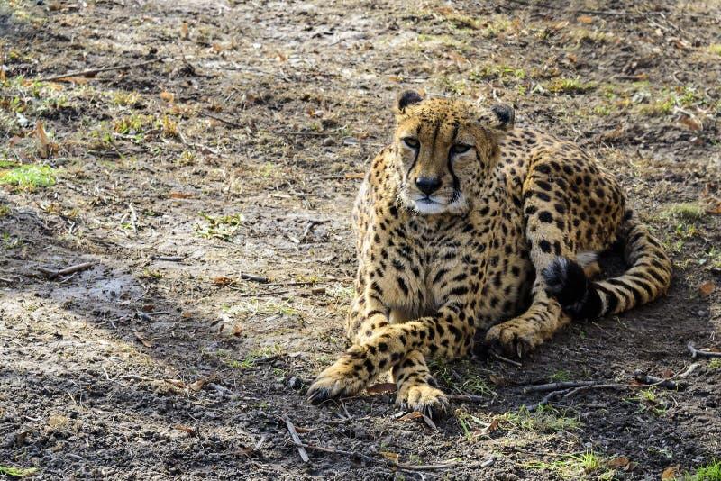 Lo zoo africano del ghepardo in primavera sta riposando sulla prima erba verde La Russia fotografie stock libere da diritti