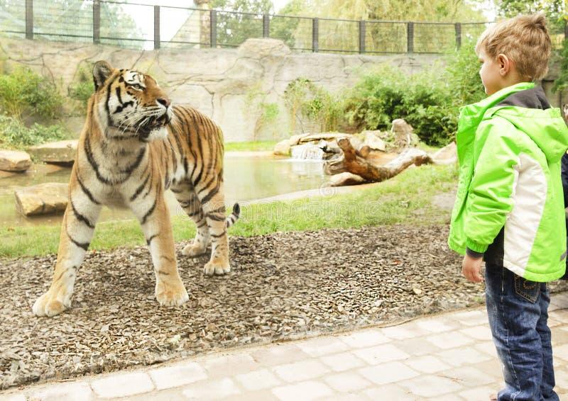 LO ZOO di MUNSTER, GERMANIA il ragazzo sta esaminando la tigre, spazio in bianco del punto immagini stock