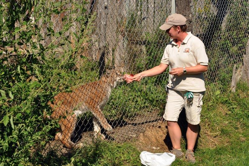 Lo Zookeeper alimenta il lince fotografia stock libera da diritti
