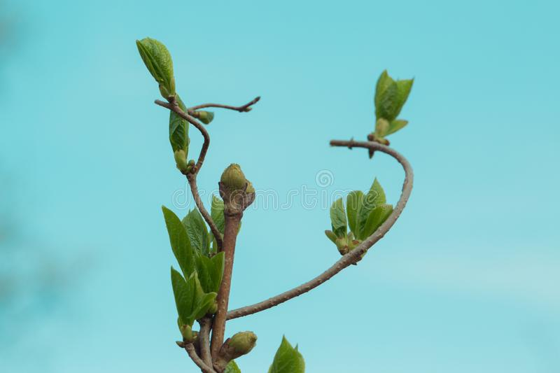 Loach, ivy, a plant that crawls intertwining with each other up. Blue background, isolated.  royalty free stock photos