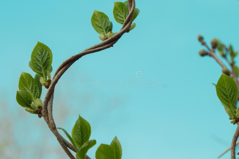 Loach, ivy, a plant that crawls intertwining with each other up. Blue background, isolated.  royalty free stock photo
