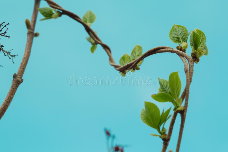 Loach, ivy, a plant that crawls intertwining with each other up. Blue background, isolated.  royalty free stock photography