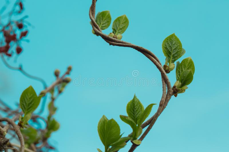Loach, ivy, a plant that crawls intertwining with each other up. Blue background, isolated.  royalty free stock images