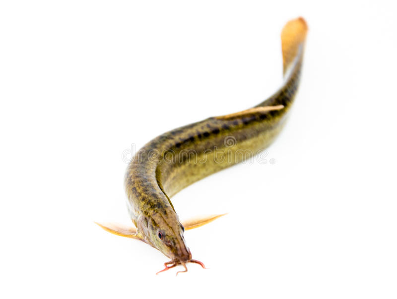 Loach. The loach with white background royalty free stock photography