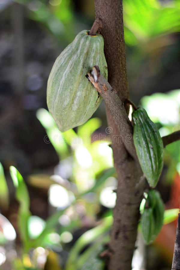 Loaded cocoa tree royalty free stock images