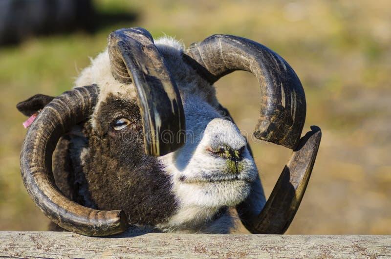 Loaghtan-schapen de van het Eiland Man stock afbeeldingen