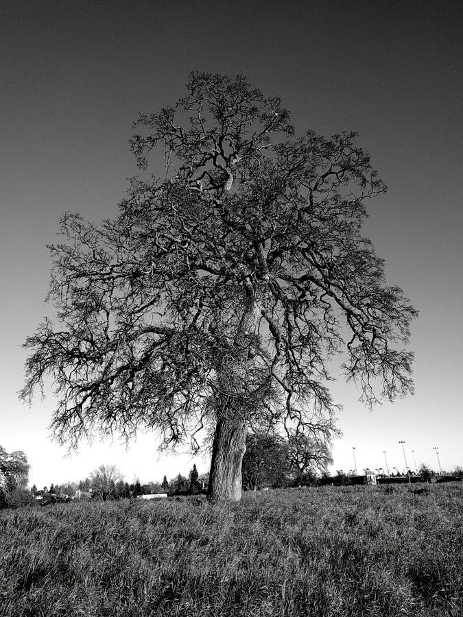 Loan Oak royalty free stock image