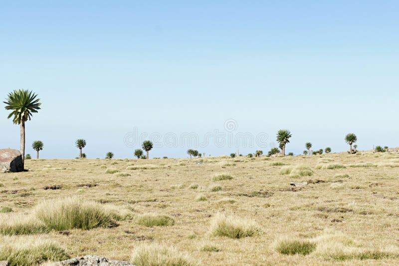 Lobélie géante en tournée d'arête en montagnes de Simien image stock