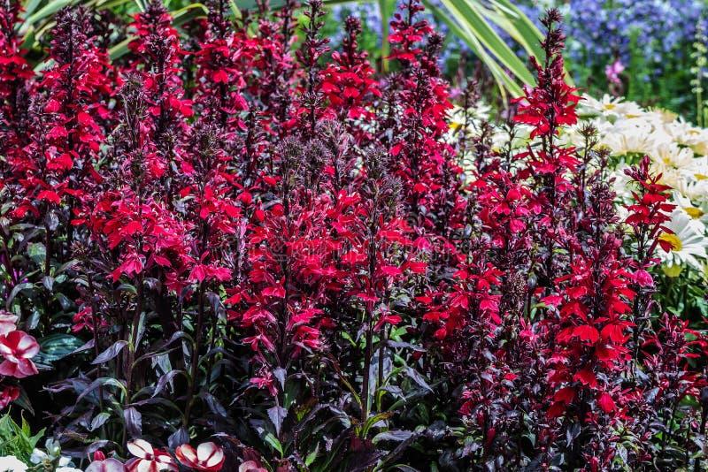 Lobélies rouges grandes dans un jardin image stock