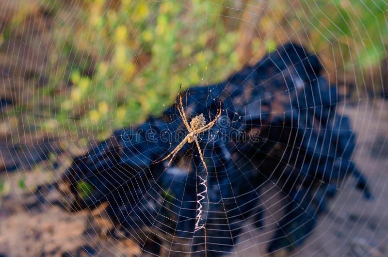 Lobata del Argiope de la web de araña con tejer del zigzoobraznym Insecto en rayos amarillos de la puesta del sol Tiroteo de arri imagenes de archivo