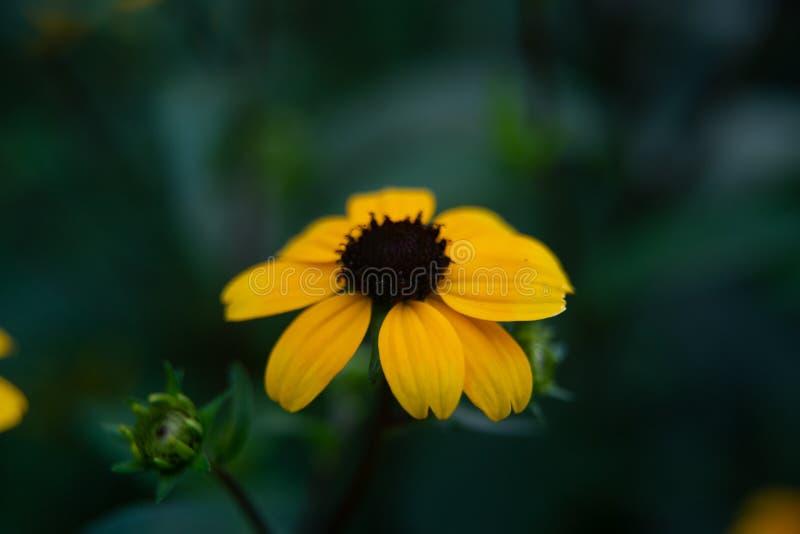 Lobed coneflower, brązowooki Susan, liścia coneflower lub Rudbeckia triloba w ogródzie, zdjęcie stock