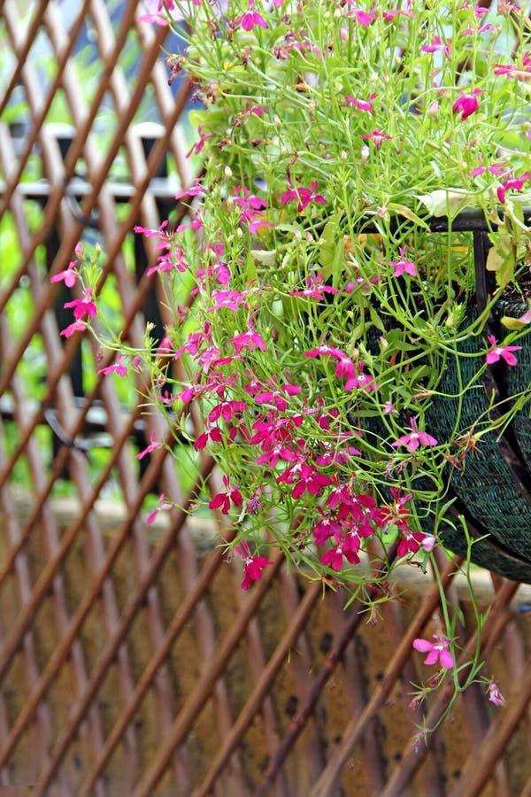 Lobelia ładni kwiaty obraz stock