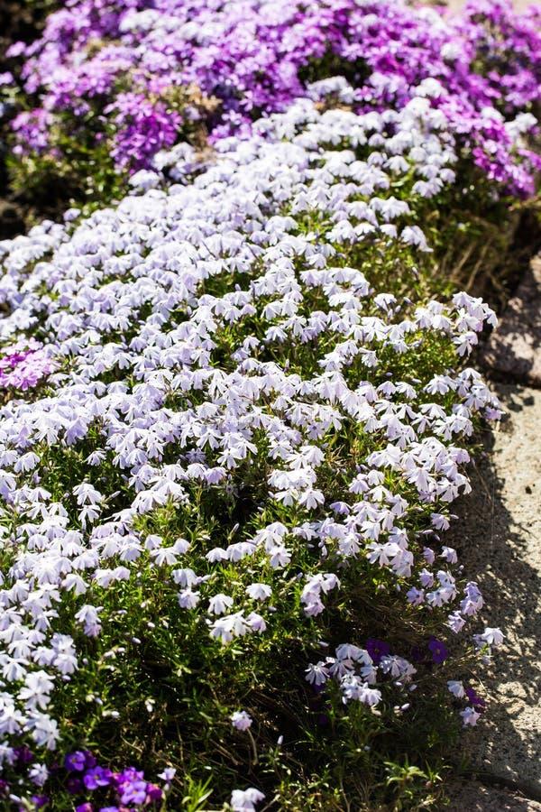 Lobelia azul en el macizo de flores fotografía de archivo