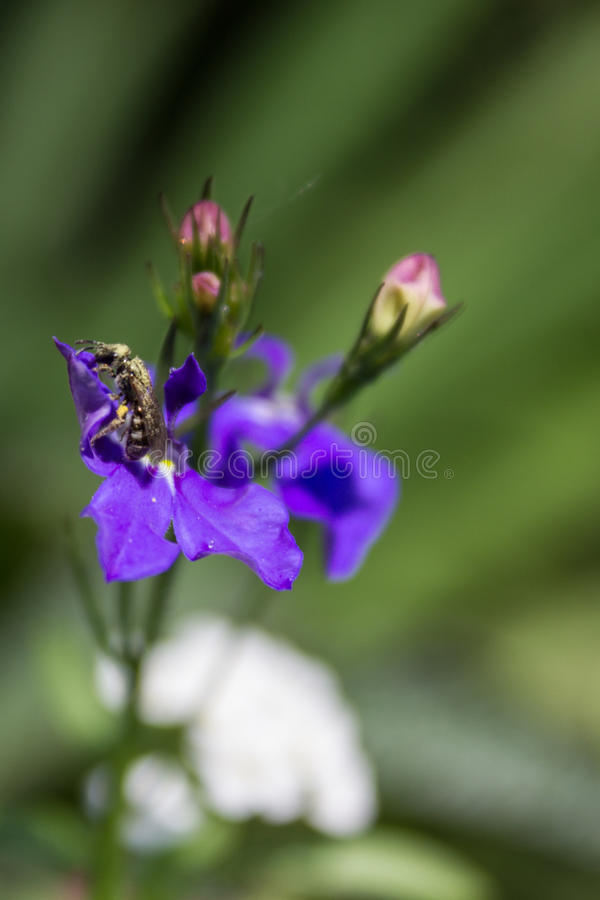 Lobelia and bee. Purple lobelia with bee stock photo