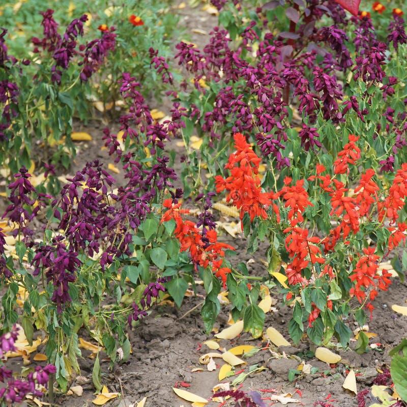 Lobelia cardinalis `Queen Victoria` flower. Lobelia cardinalis, commonly called cardinal flower is a Missouri native perennial which typically grows in moist royalty free stock photos