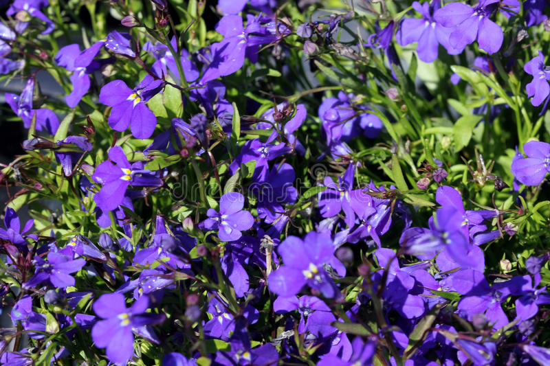 Lobelia erinus `Crystal Palace`. Herbaceous annual with trailing habit and deep blue flowers, suitable for hanging baskets stock images