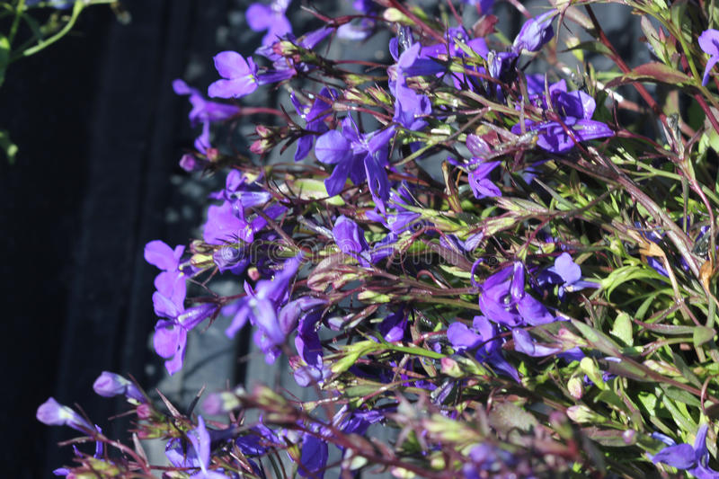 Lobelia erinus `Crystal Palace`. Herbaceous annual with trailing habit and deep blue flowers, suitable for hanging baskets royalty free stock image