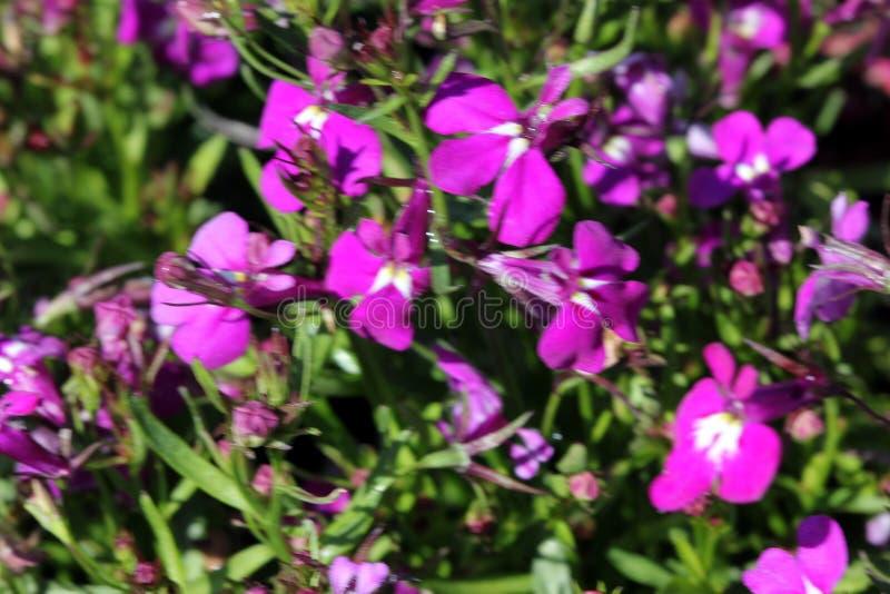 Lobelia erinus ` Rosen-` lizenzfreie stockfotografie