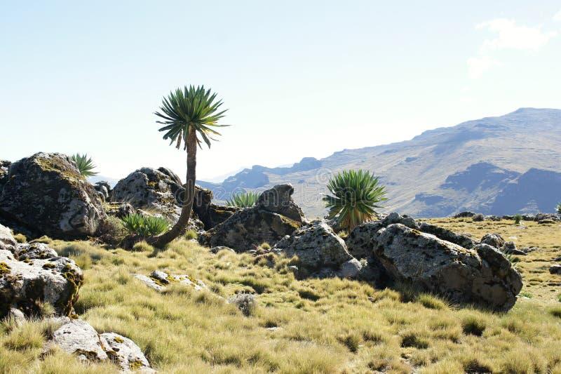 Lobelia gigante durante il giro della cresta in montagne di Simien fotografie stock libere da diritti