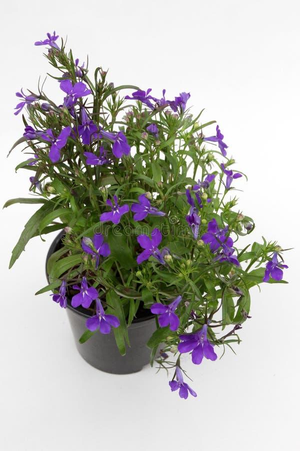 Lobelia Lo zaffiro di trascinamento blu di Lobelia fiorisce o orlando il Lobelia, Lobelia del giardino in vaso su fondo bianco is fotografia stock libera da diritti