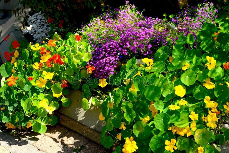 Lobelia and nasturtium flowers stock photo
