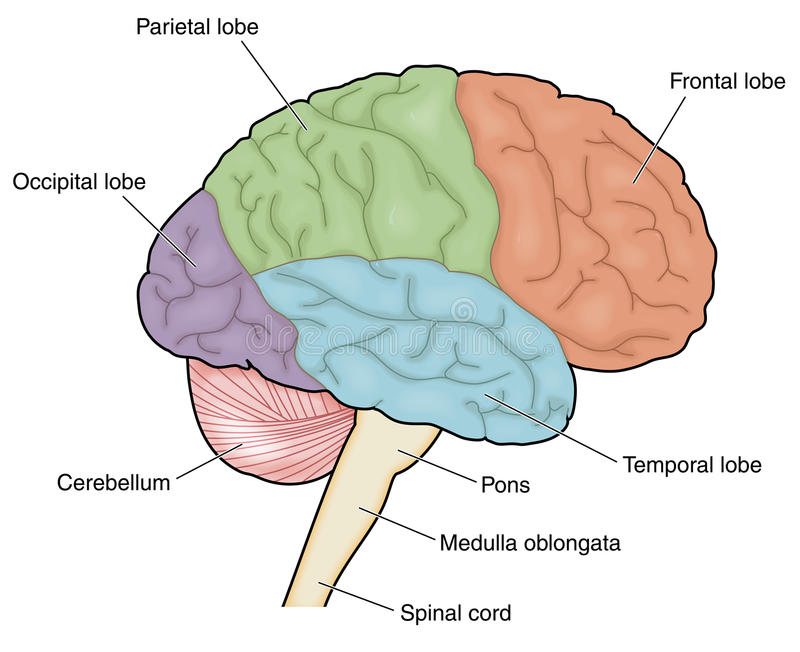 Lobes of the brain stock vector. Illustration of external ...