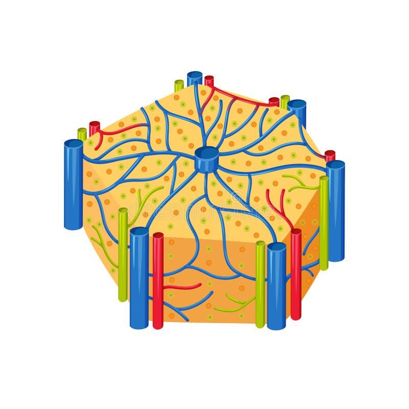 Lobi umani del fegato illustrazione di stock