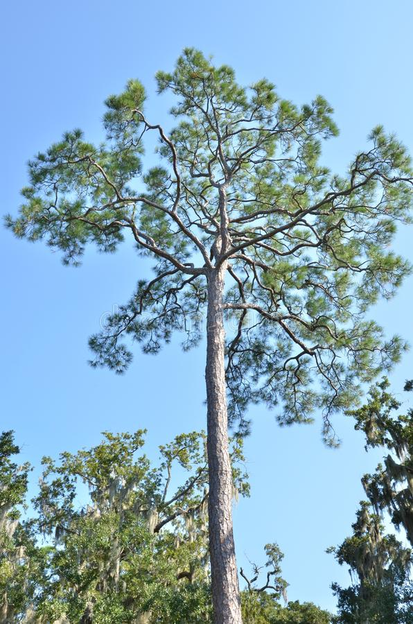 Loblolly pine royalty free stock photo