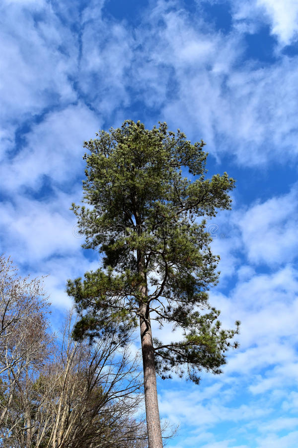 Loblolly Pine Tree royalty free stock images