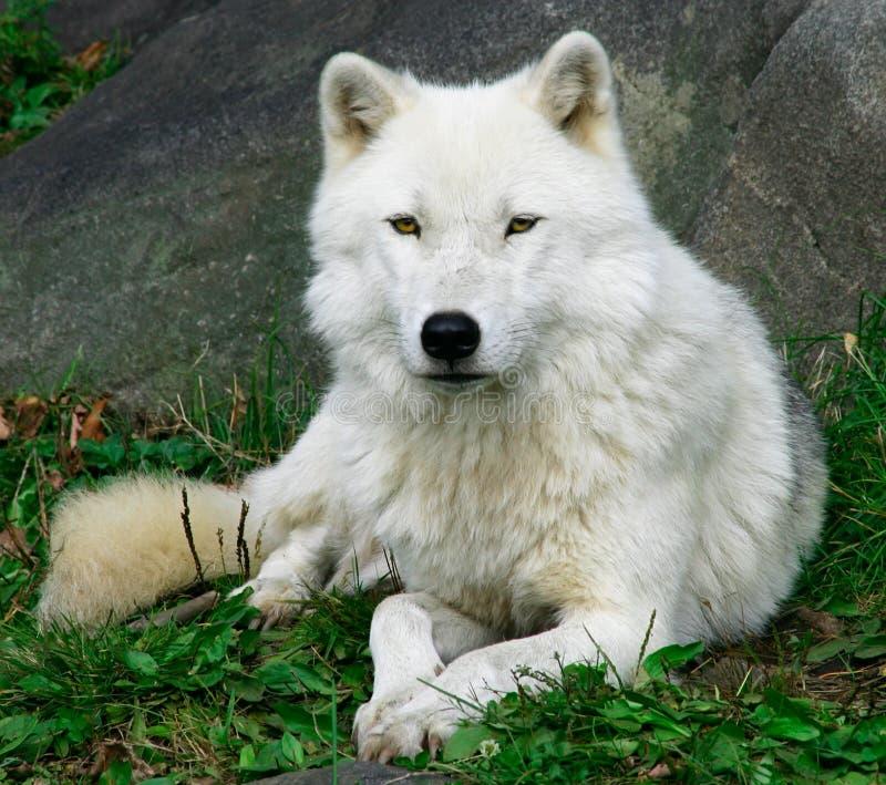 Lobo ártico 2 fotografía de archivo libre de regalías