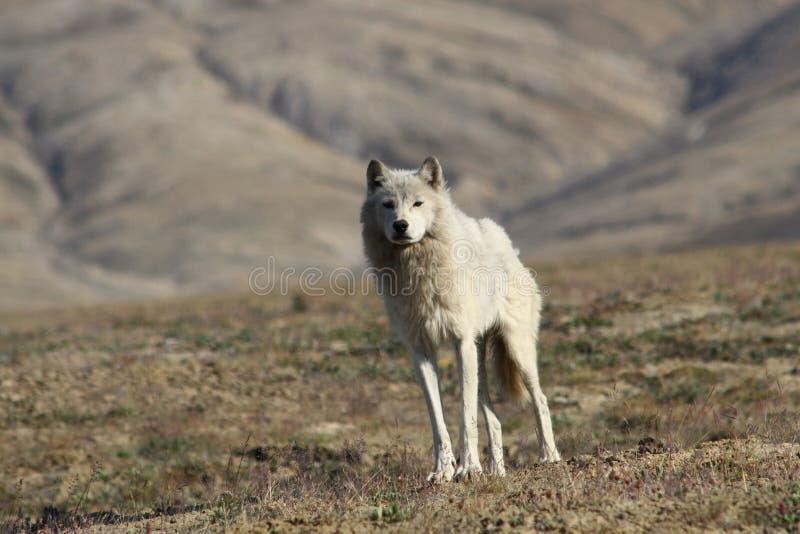 Lobo ártico fotos de stock