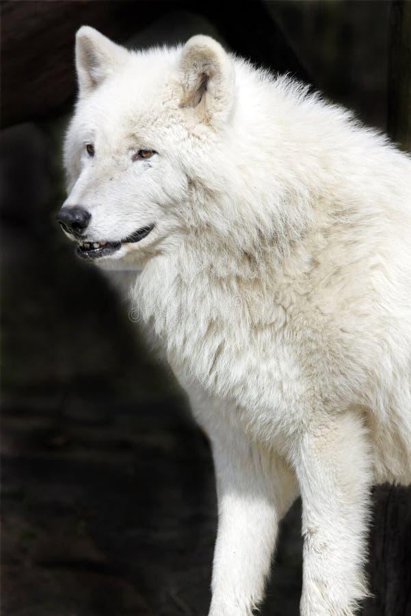 Lobo ártico fotos de stock royalty free
