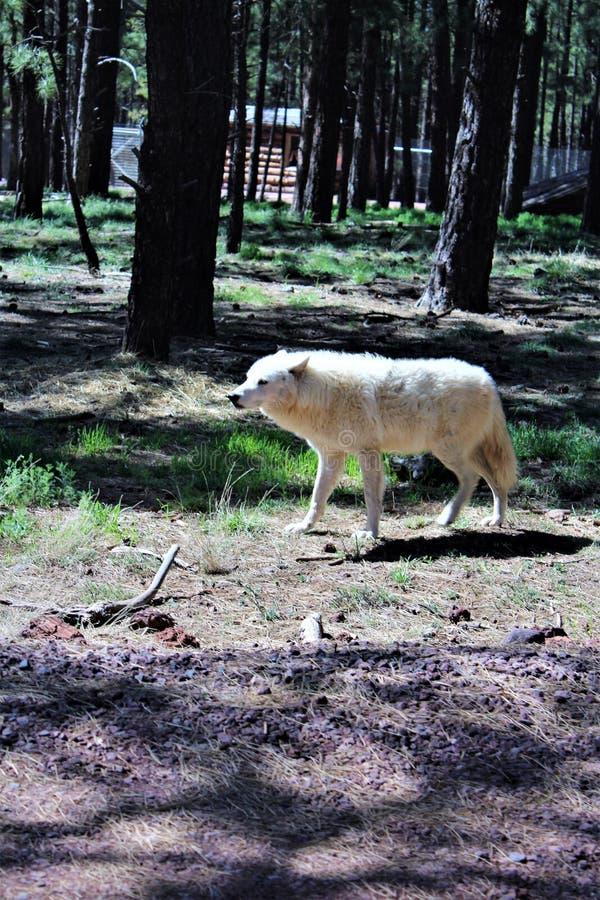 Lobo ártico foto de stock royalty free