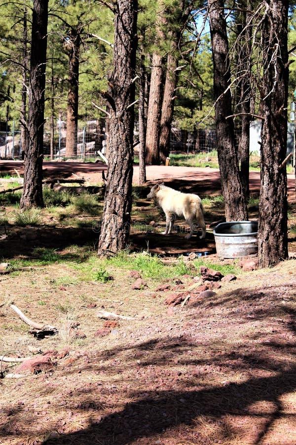 Lobo ártico fotografía de archivo libre de regalías