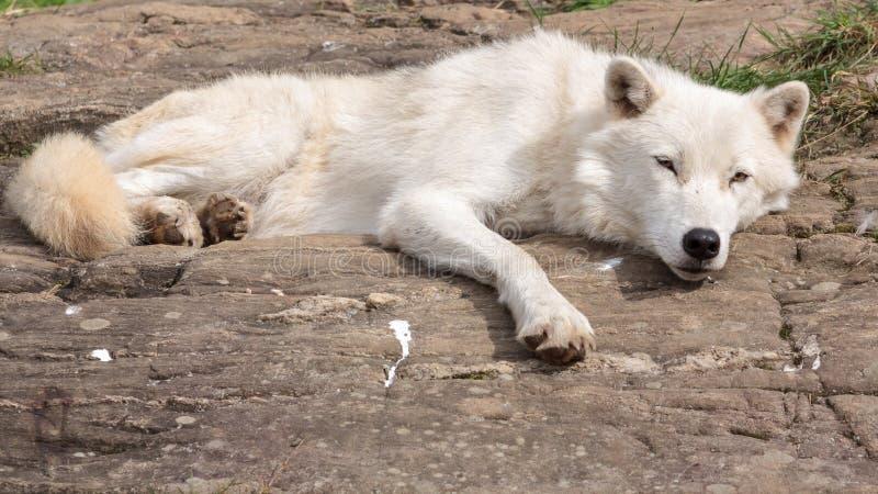 Lobo ártico adulto foto de archivo