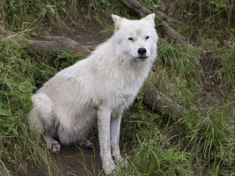 Lobo ártico adulto que se sienta en hierba fotografía de archivo