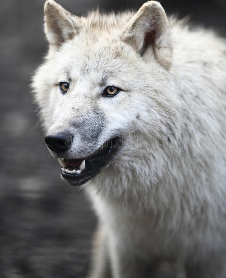 Lobo ártico (arctos del lupus de Canis) fotografía de archivo