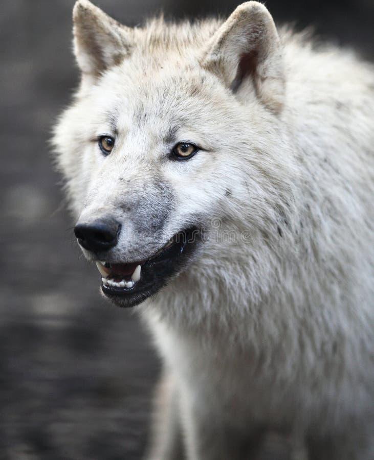 Lobo ártico (arctos do lúpus de Canis) fotografia de stock