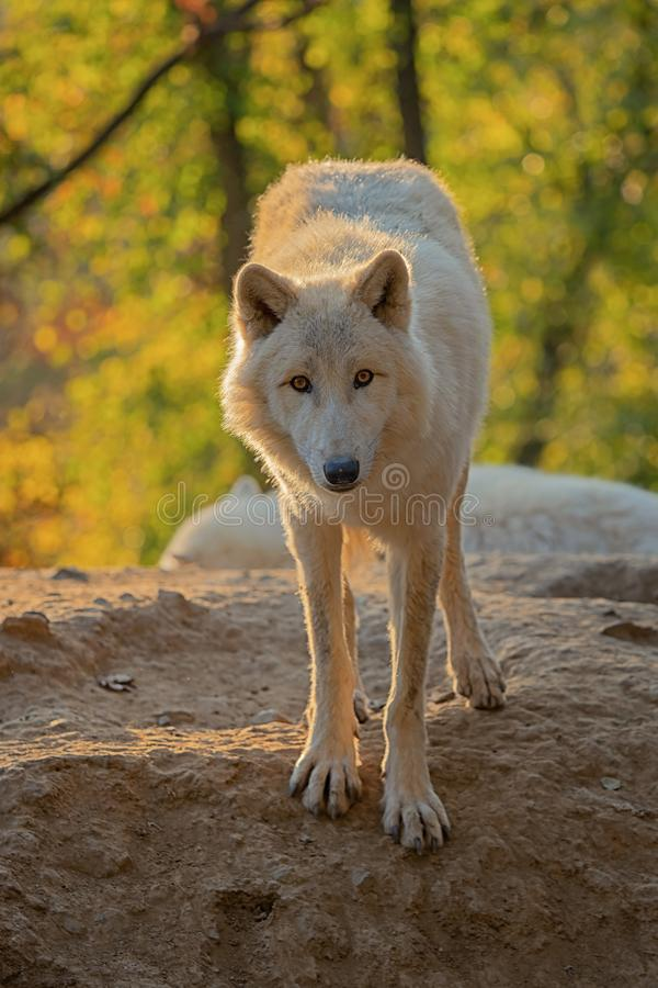 Lobo ártico - arctos do lúpus de Canis foto de stock