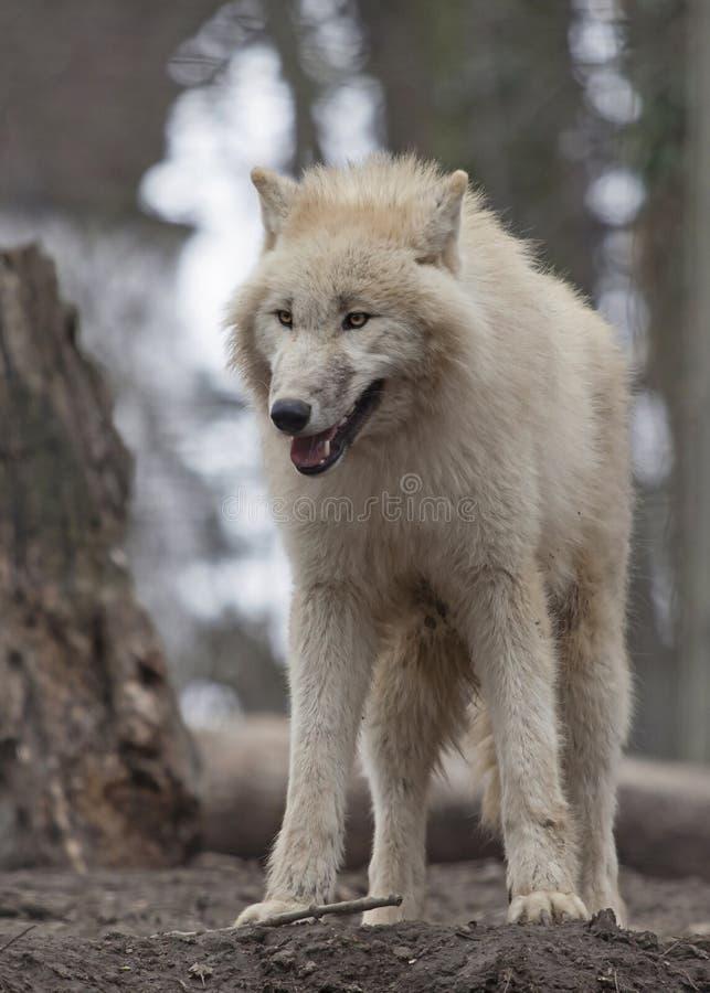 Lobo ártico branco foto de stock