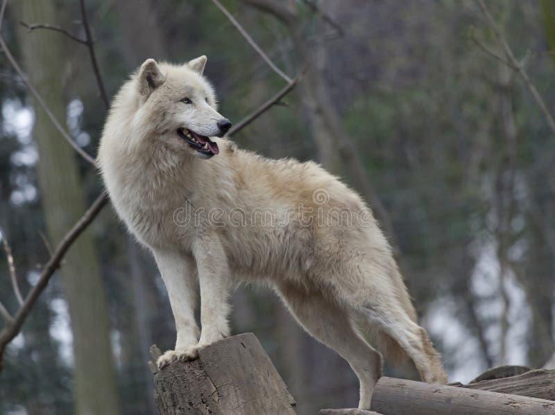 Lobo ártico branco imagens de stock royalty free