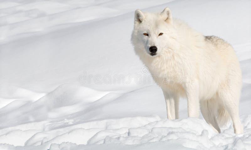 Lobo ártico en la nieve que mira la cámara fotos de archivo