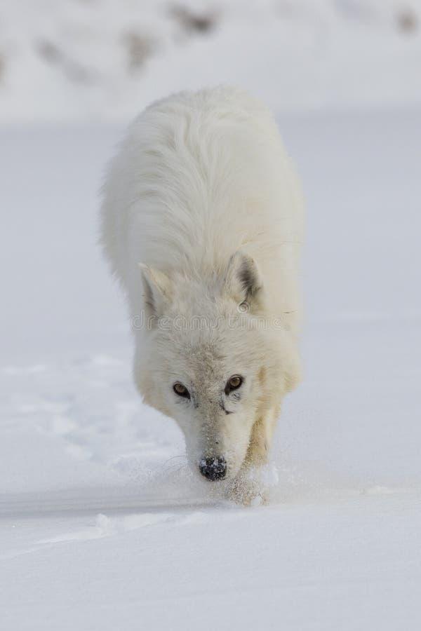 Lobo ártico en vagabundeo fotografía de archivo