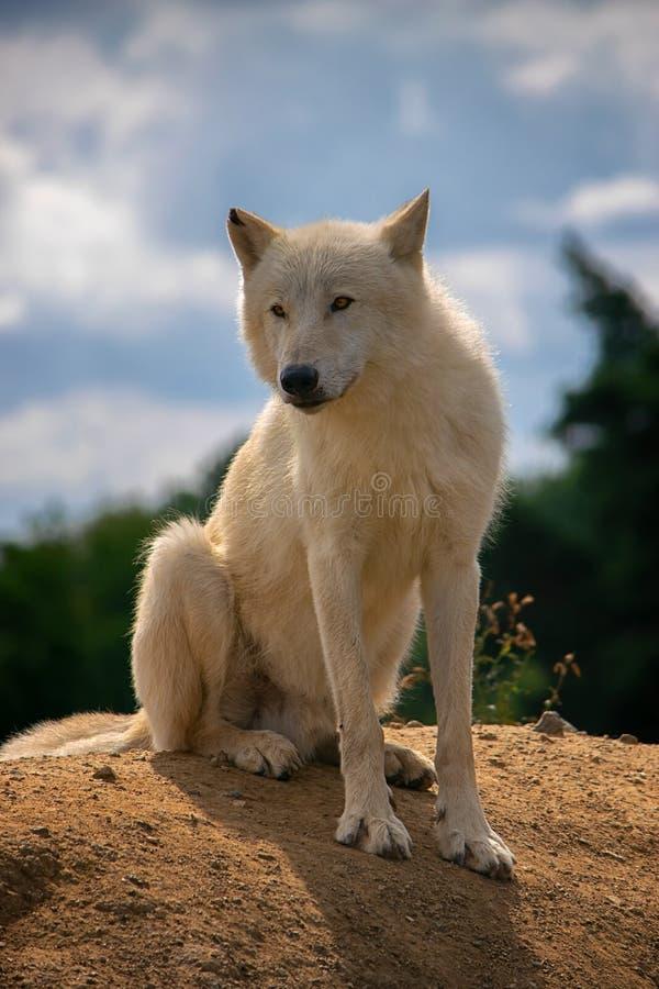 Lobo ártico, mamífero, postrait, perro fotografía de archivo libre de regalías