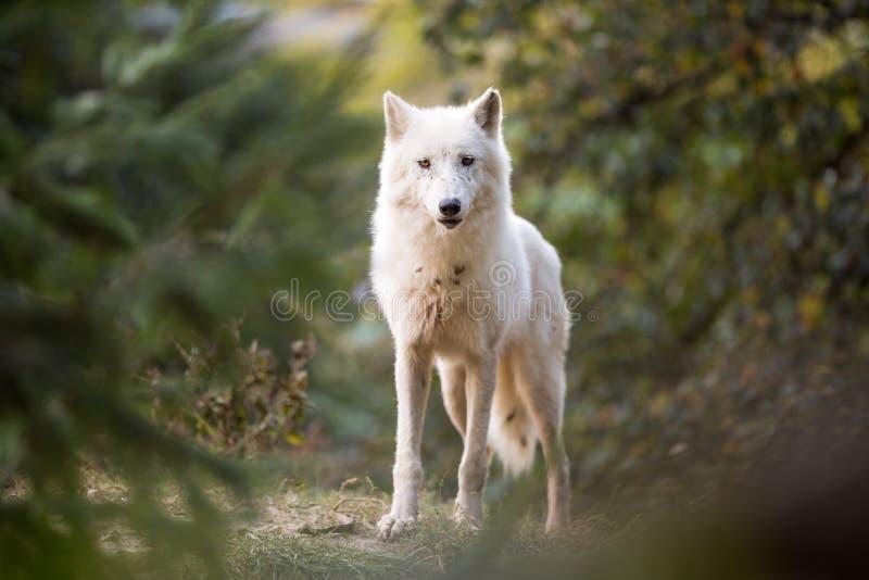 Lobo ártico na floresta fotos de stock